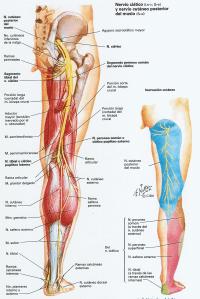 nervio-ciatico-pierna