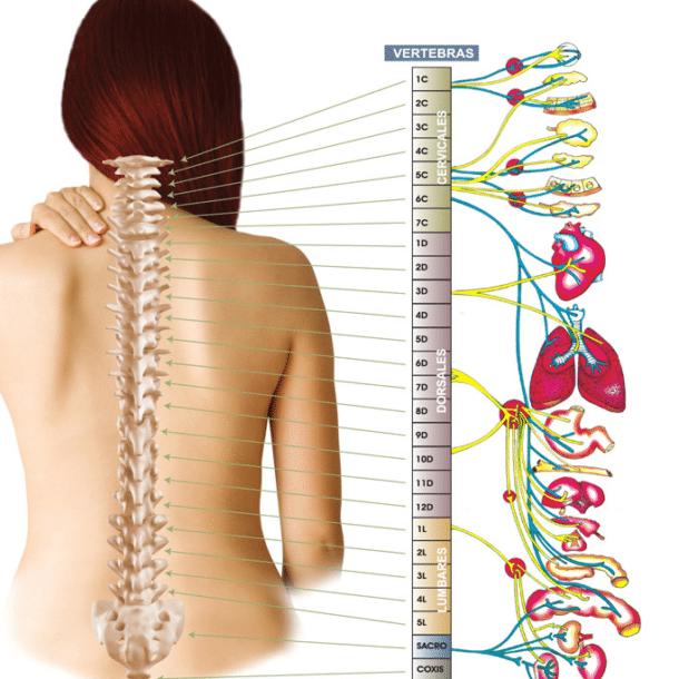 Esta es la segunda parte de una serie de posts que hablan sobre la anatomía de la columna vertebral. El primero estaba centrado en las curvaturas de la columna.