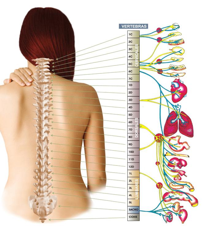 Anatomía de la columna (II). Relación entre las vértebras y los ...