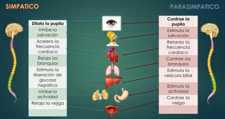 El ajuste vertebral y el equilibrio del Sistema Nervioso Autónomo
